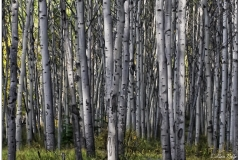Silber birches