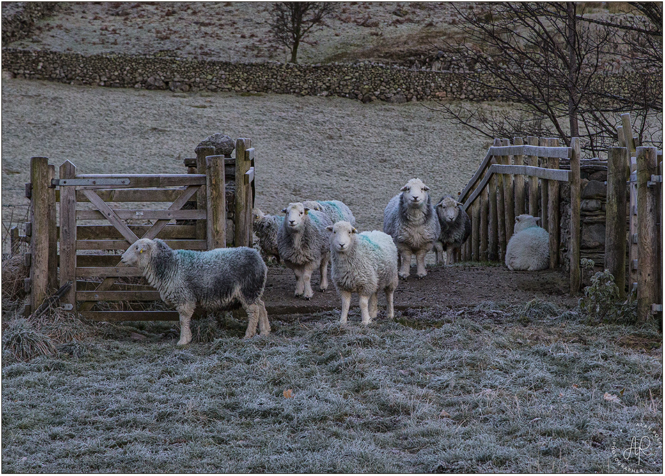Herdwick sheep on a frosty morning
