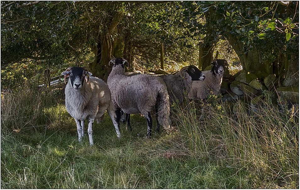 Grosmont sheep