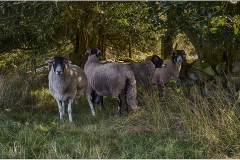 Grosmont sheep