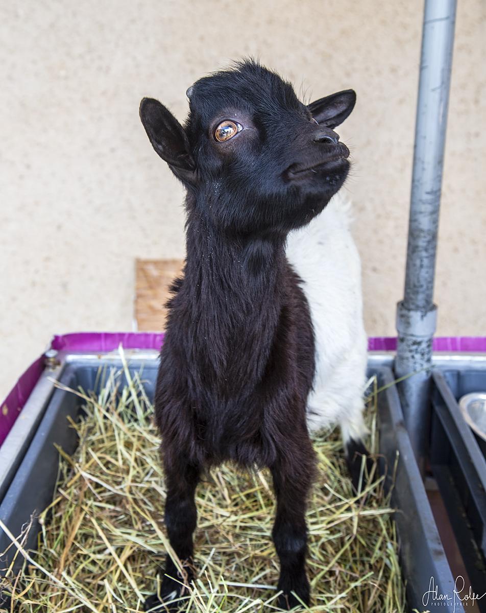 A friendly pygmy goat at Coustellet market