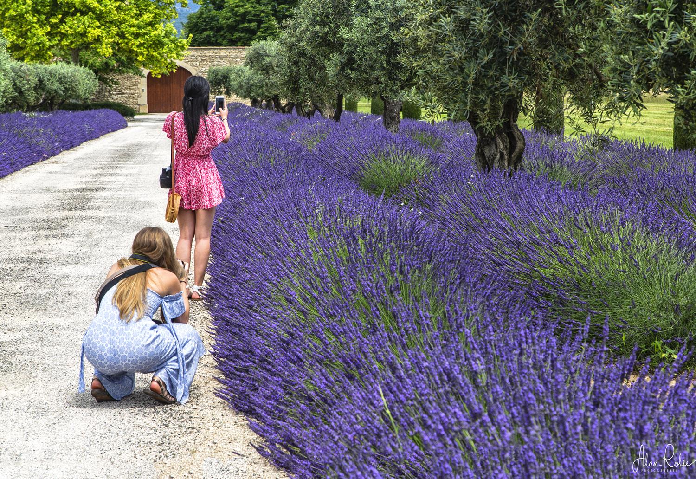 Lavender fields near Coustellet