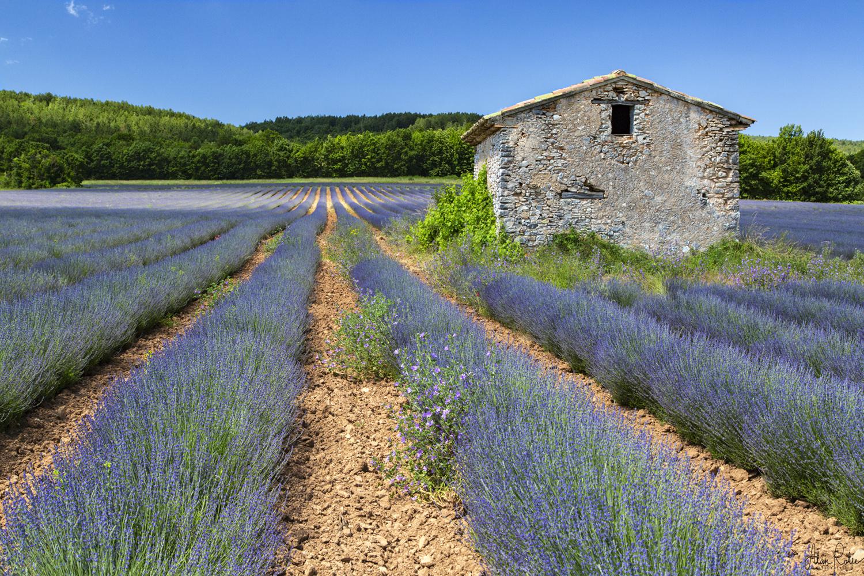 Lavender. St Christol