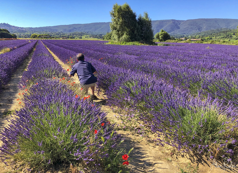 Lavender near La Vare Bonnieux
