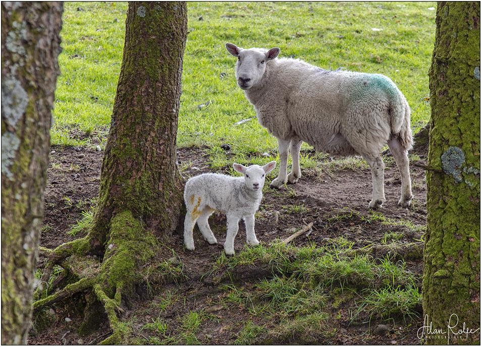 20190504-Sthrathcarron-sheep-IMG_0552-copy_large