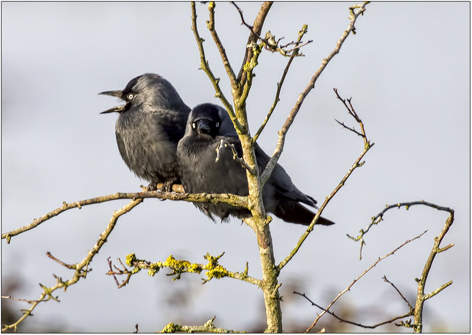 20171212-Slimbrige-Jackdaws-IMG_0087 copy_large