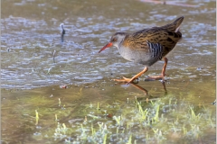 20171212-Slimbrige-Water Rail-IMG_0051 copy_Large